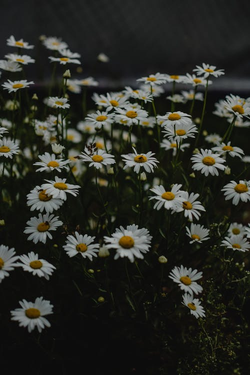 Insects on Blooming Chamomile Flowers