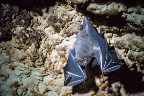 Free stock photo of bats
