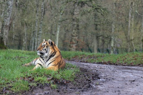 Brown and Black Tiger Lying on Ground Surrounded by Trees