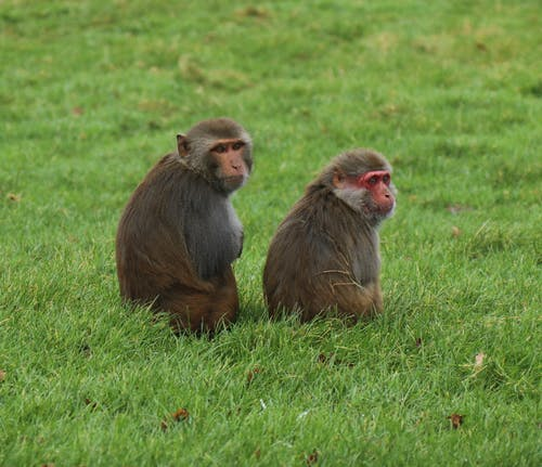 Brown Monkey Sitting on Green Grass