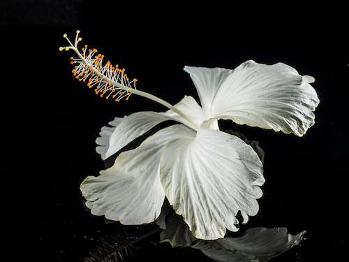 Kostnadsfri bild av blomma, flora, Hibiskus, kronblad