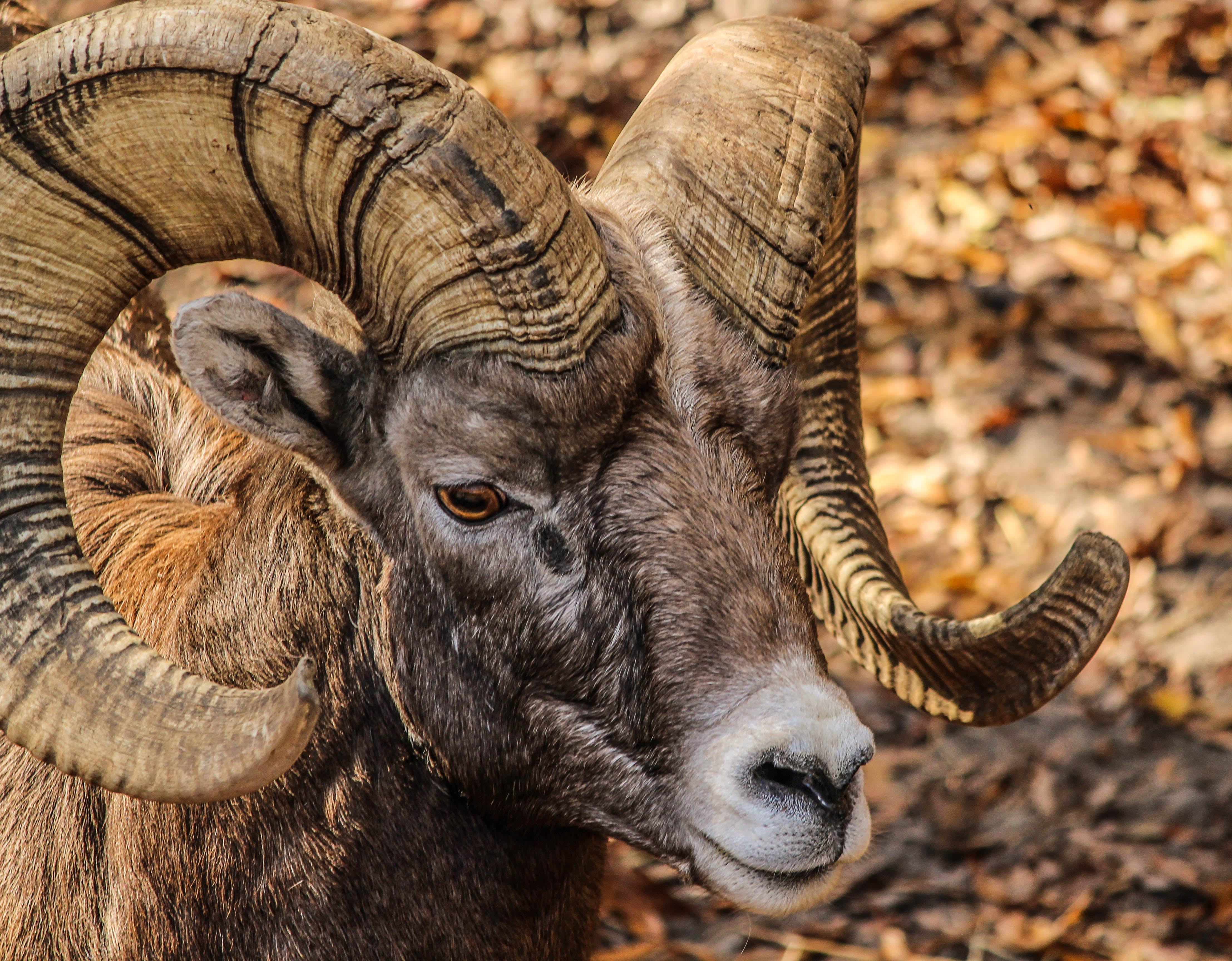 Black and Brown Ram Animal