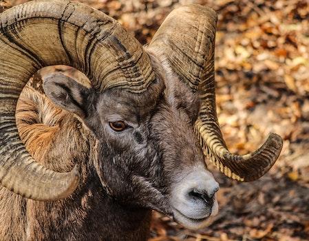 Black and Brown Ram Animal