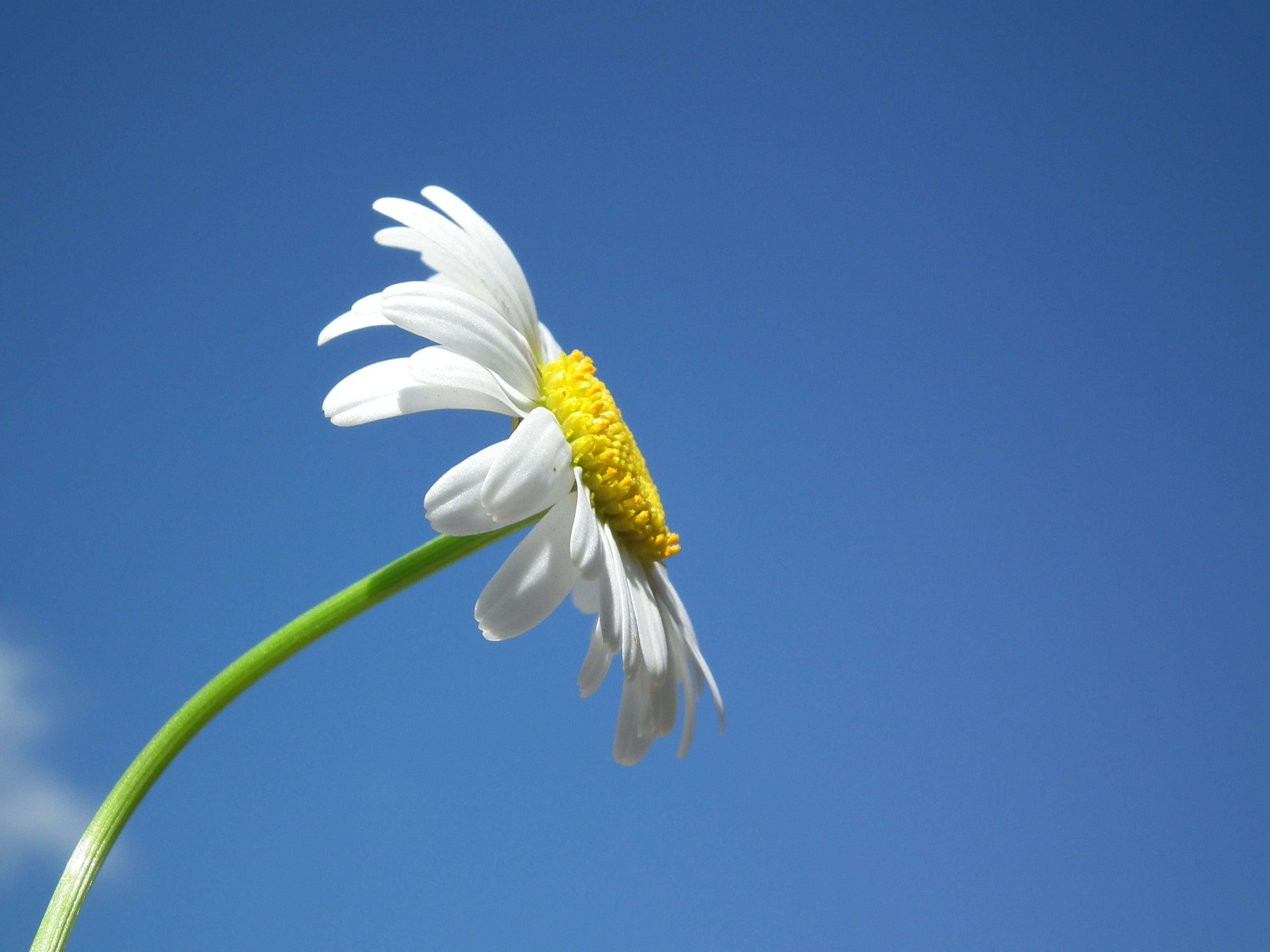White Daisy Under Blue and White Cloudy Sky