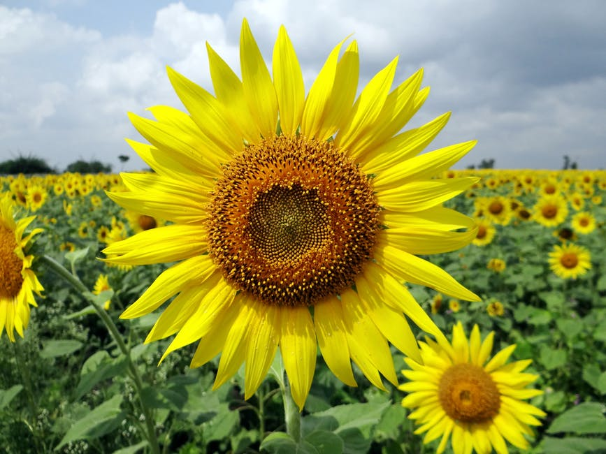 Nutritional Value of Sunflower Seeds: 8 Amazing Benefits & Uses Of Sunflower Seeds