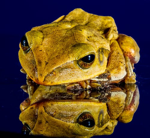 Yellow and Brown Frog