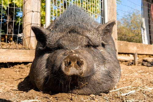 A Pig Resting on the Ground