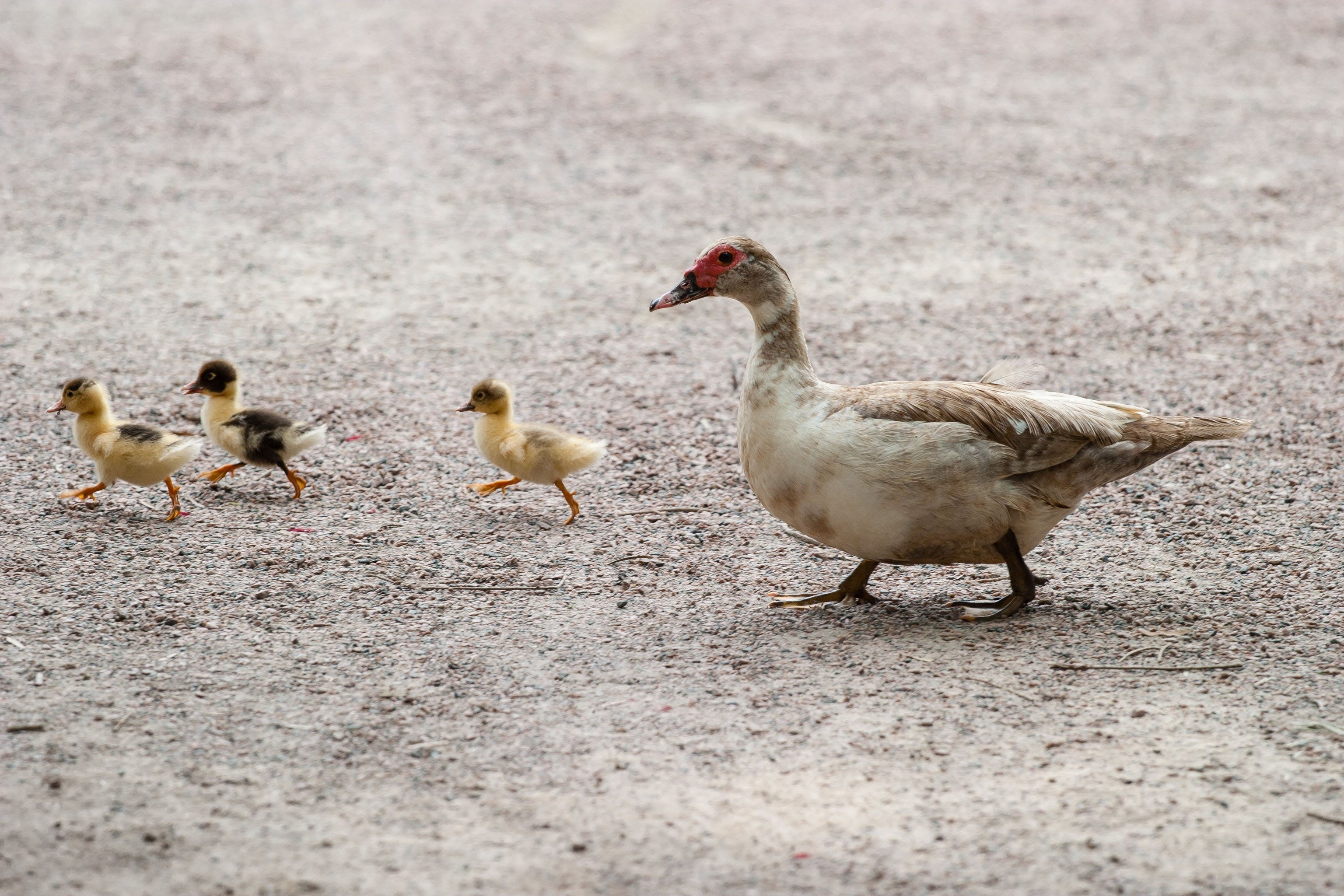 White and Brown Duck With Yellow and Black Ducklings Walking in Gray Floor during Daytime