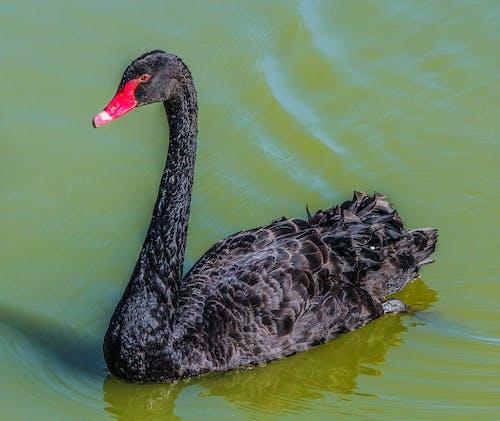 Безкоштовне стокове фото на тему «cygnus atratus, відображення, вода, водоплавний птах»