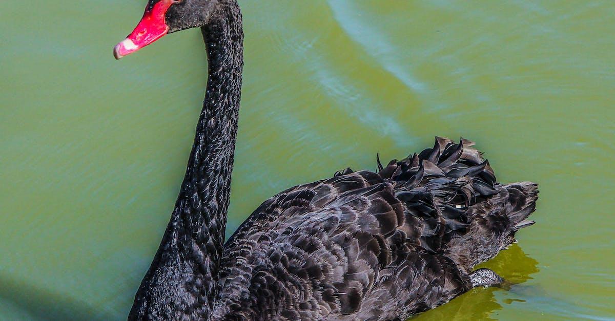 Картинки надписью, черный лебедь картинки животное