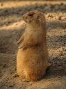 animal, prairie dog, rodent