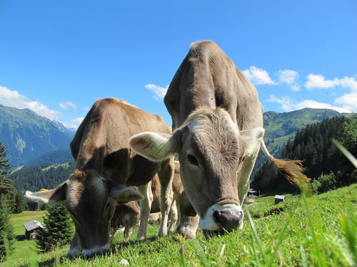 Two Cattle Eating Grass on Field