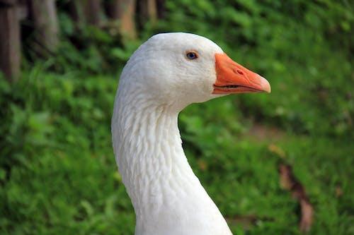 Gratis lagerfoto af close-up, dyrefotografering, fjerdragt, gås