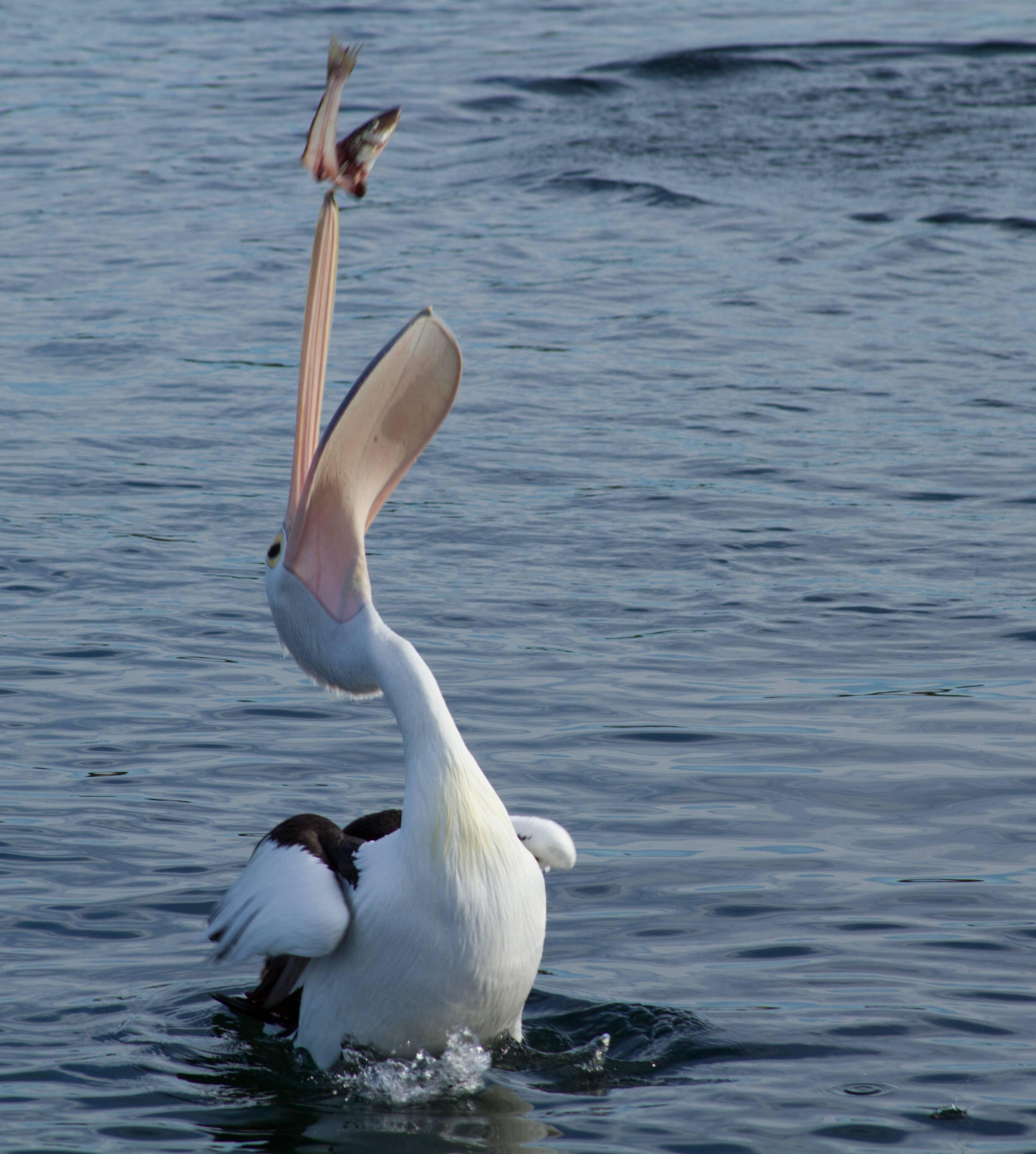 Free Stock Photo Of Animal Bird Catching