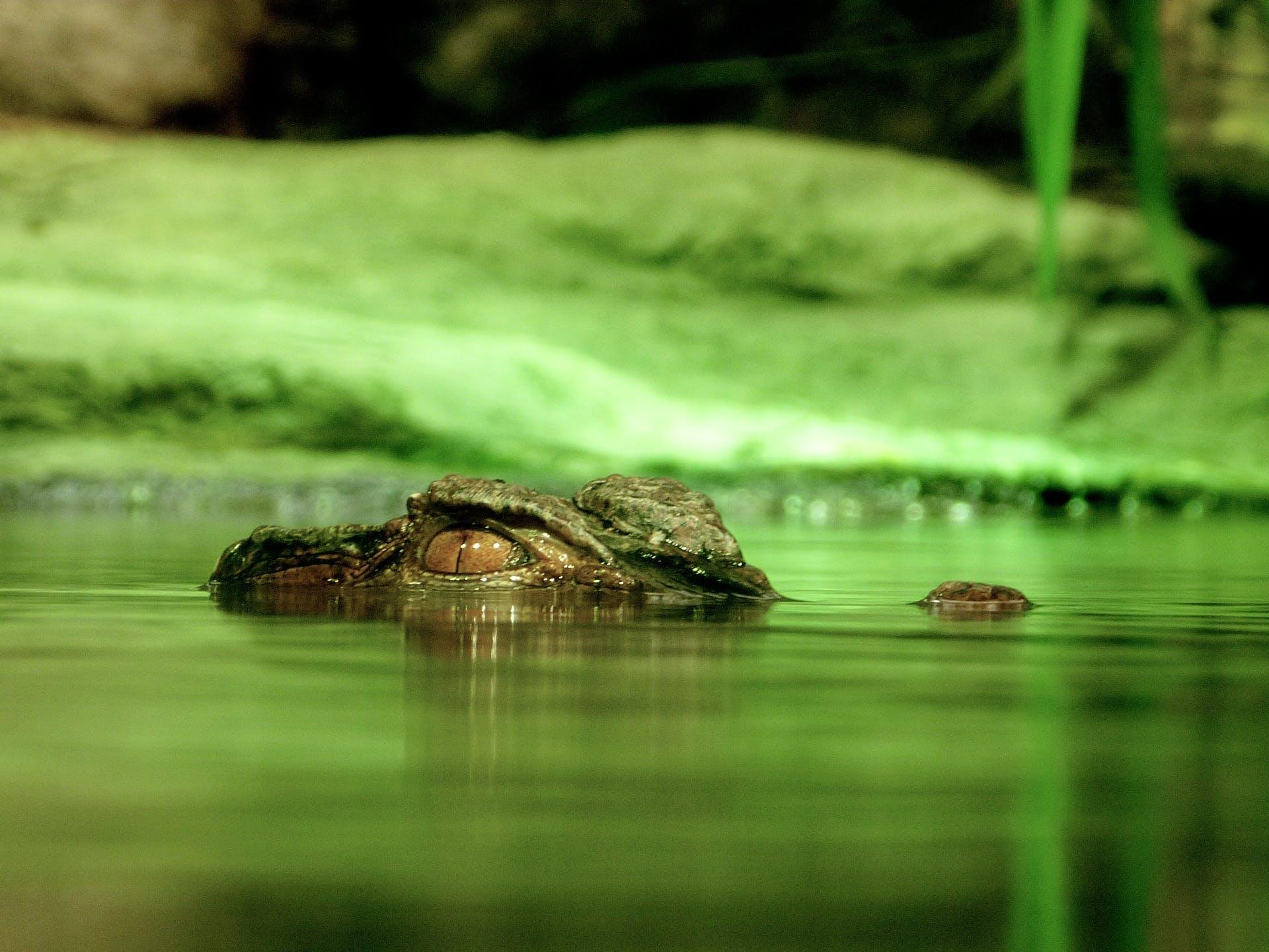 Green Crocodile Under Body of Water