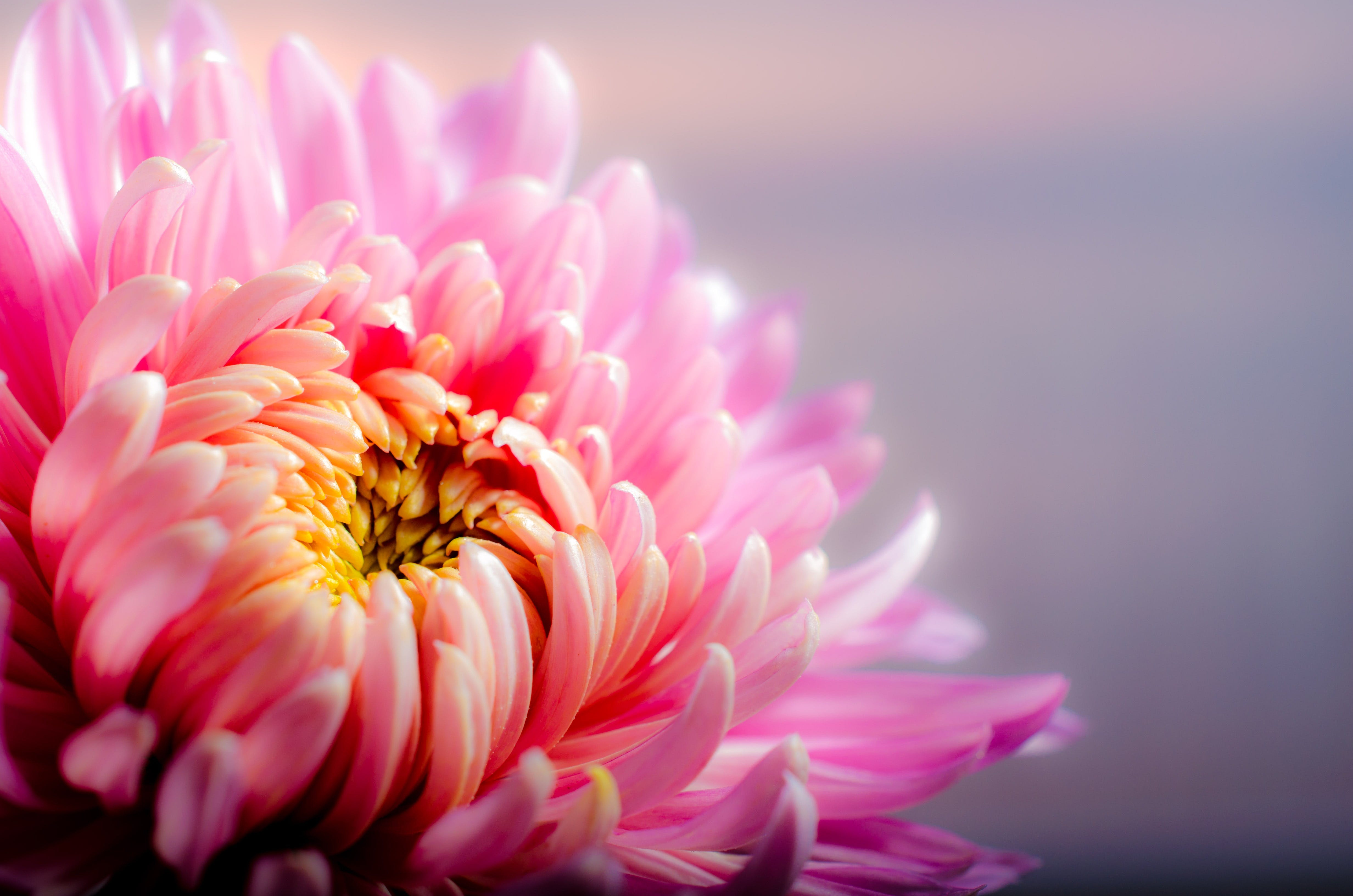 chrysanthemum, close-up, depth of field