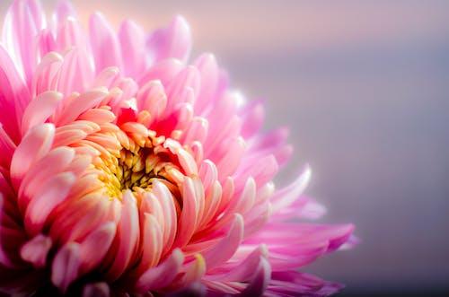 Základová fotografie zdarma na téma chryzantéma, flóra, hloubka ostrosti, kytka