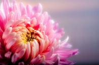 petals, flower, pink