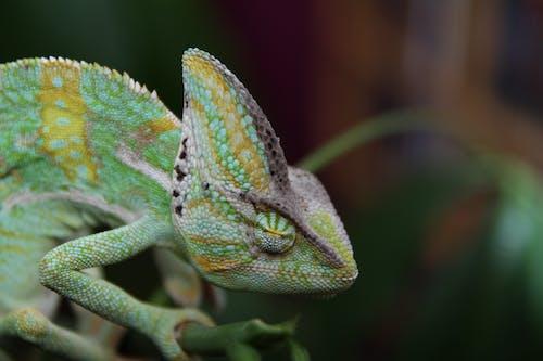 Ilmainen kuvapankkikuva tunnisteilla chamaeleon, chamaeleonidae, eläin, kameleontti