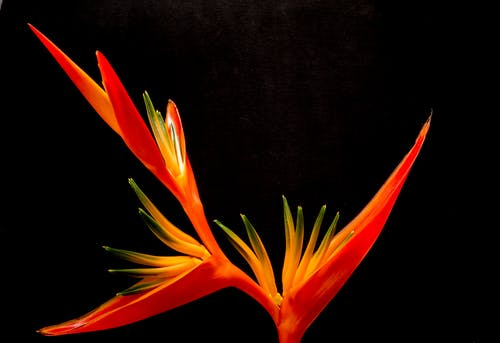 Red Birds of Paradise