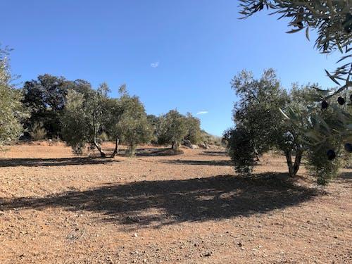 Foto profissional grátis de azeite, azeite de oliva, azeitonas