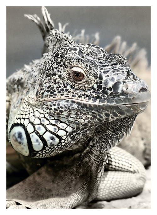 Foto d'estoc gratuïta de animal, balances, blanc i negre, iguana