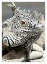 animal, reptile, iguana
