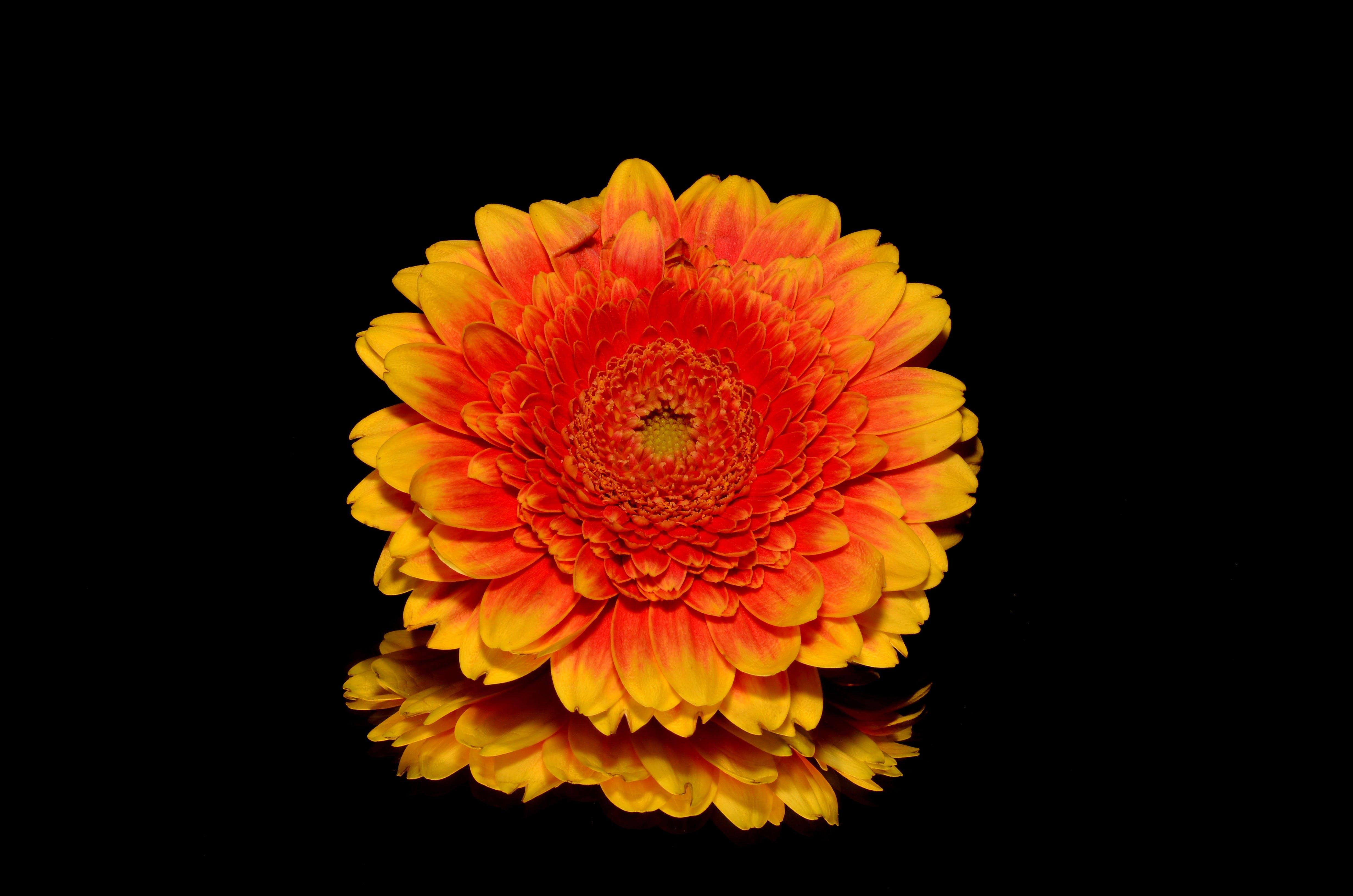 Ilmainen kuvapankkikuva tunnisteilla appelsiini, gerbera, kasvikunta, keltainen