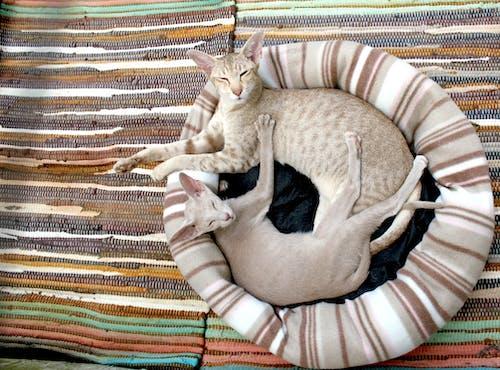 Grey Short Fur Cat