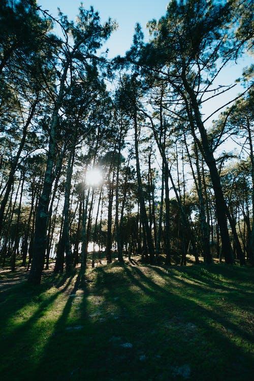 Ảnh lưu trữ miễn phí về ánh sáng, bình minh, cây, cây lá kim
