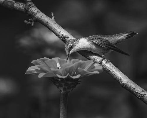 Black and white of little hummingbird near blooming flower on blurred background of nature