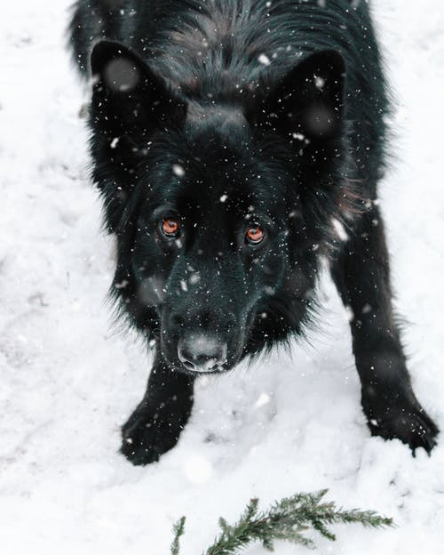 Free stock photo of big dog, black dog, canine