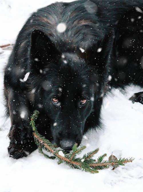 Free stock photo of animal, big dog, black dog