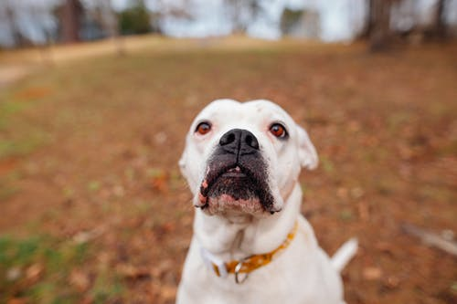 Adorable curious American Bulldog with collar standing on ground covered with fallen leaves and looking away in autumn park