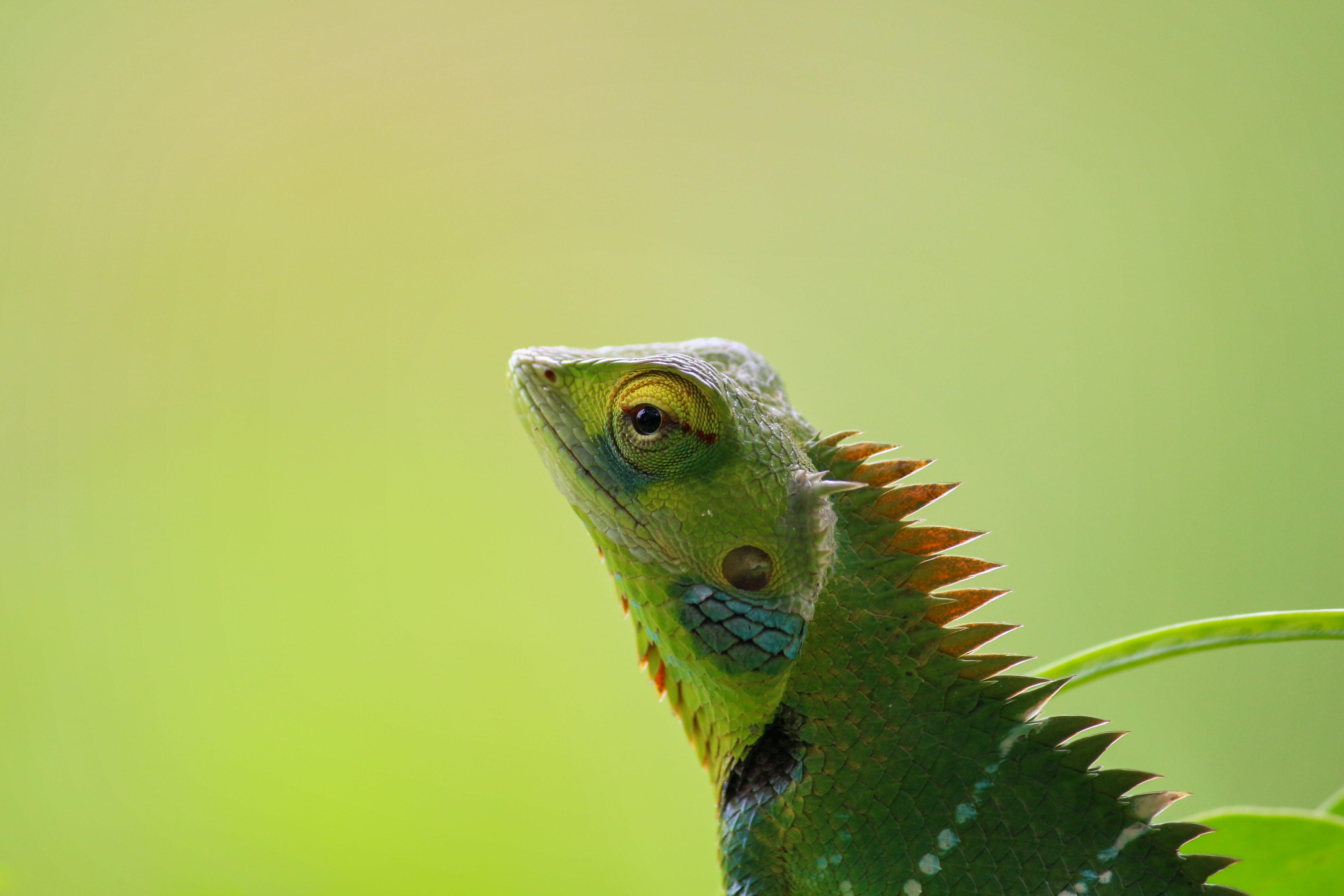 Free stock photo of animal, chameleon, colorful, cute