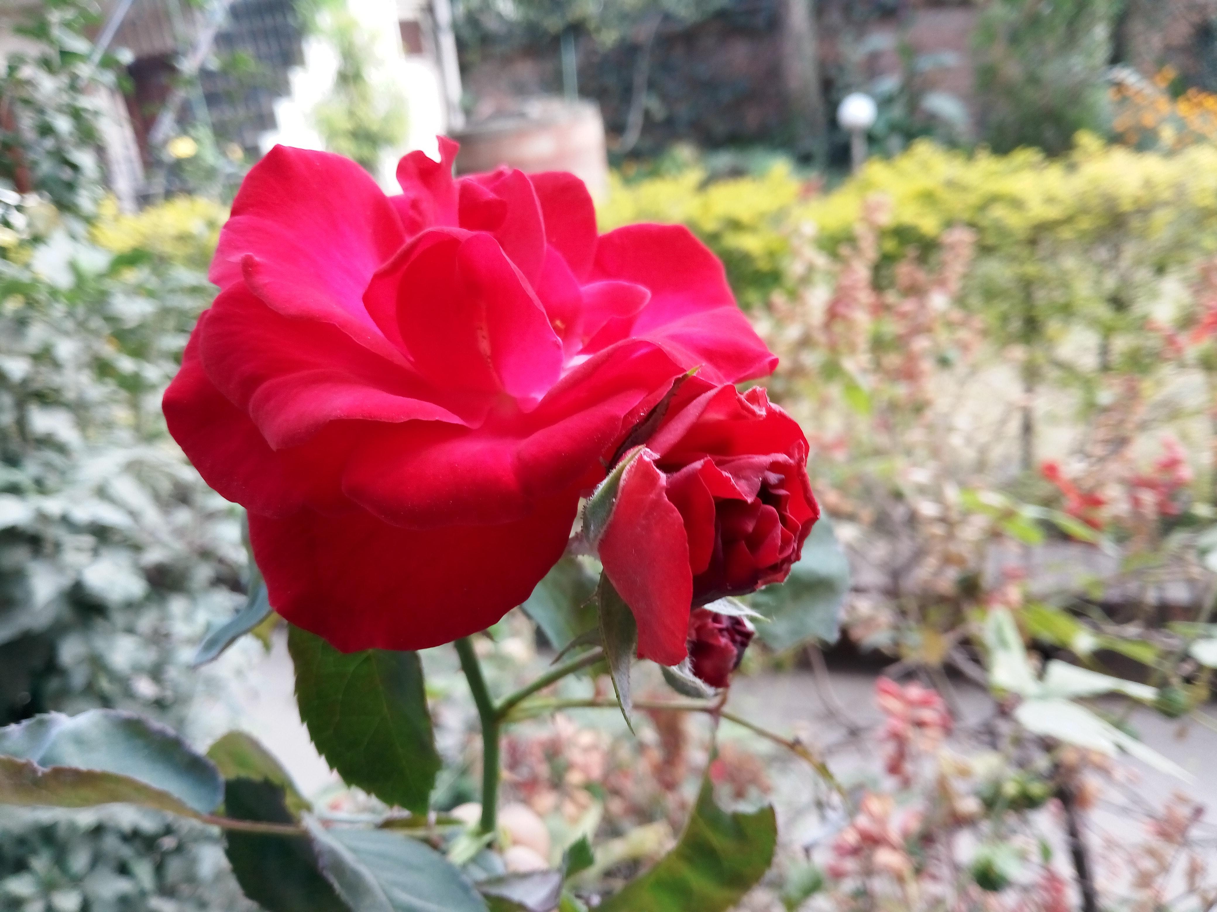 Free stock photo of beautiful flower red rose free download izmirmasajfo