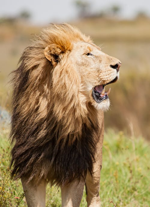 Wild lion standing with opened mouth in nature in sunny day