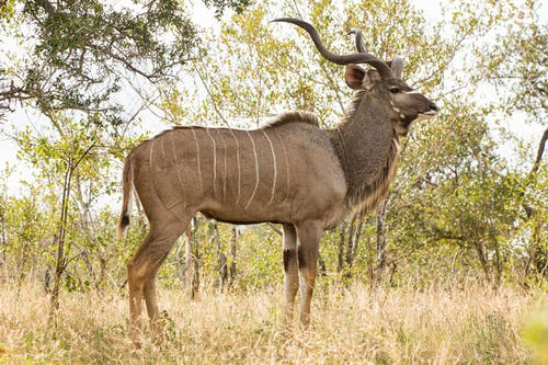 Wild fluffy antelope with striped back