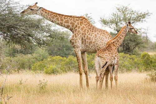 Imagine de stoc gratuită din animal, animale sălbatice, arbore