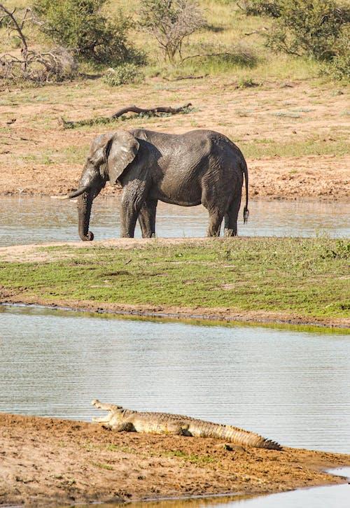 Wild elephant walking on grassy coast near small crocodile