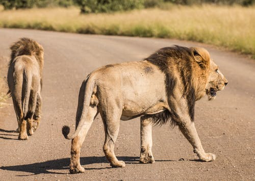 Wild roaring lions on asphalt road of savannah