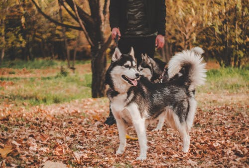 Woman in Black Jacket Holding Black and White Siberian Husky
