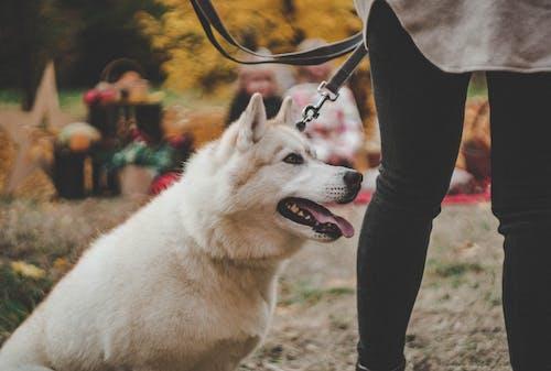 Free stock photo of dog, husky, park