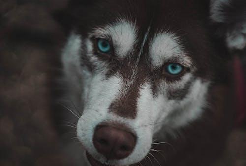 Free stock photo of blue, dog, eyes