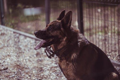 Free stock photo of dog, german shepherd