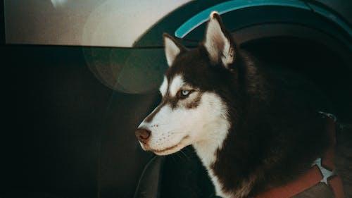 Free stock photo of dog, eyes, husky