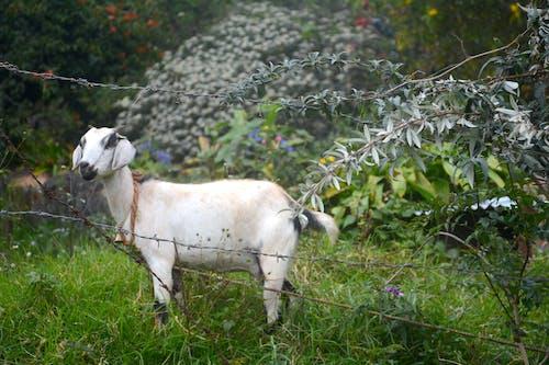 Foto d'estoc gratuïta de animal, cabra, fotografia de la vida salvatge