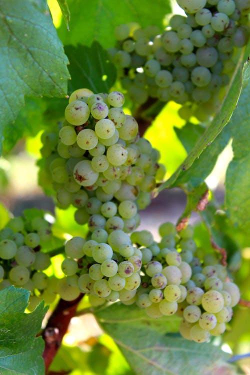 Photos gratuites de agriculture, aliments, cave viticole
