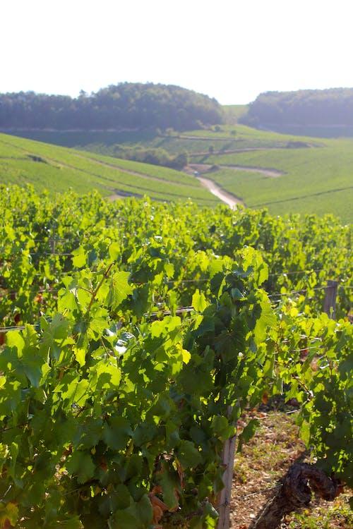 Photos gratuites de france, raisins, vin