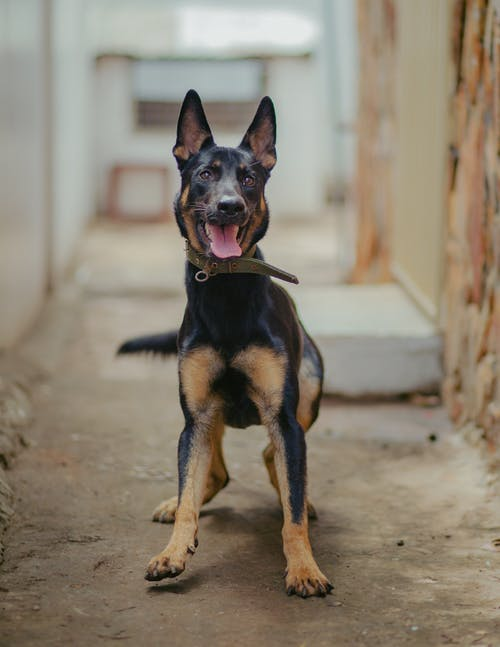 Attentive German Shepherd dog with collar standing on rough ground and looking at camera with tongue out